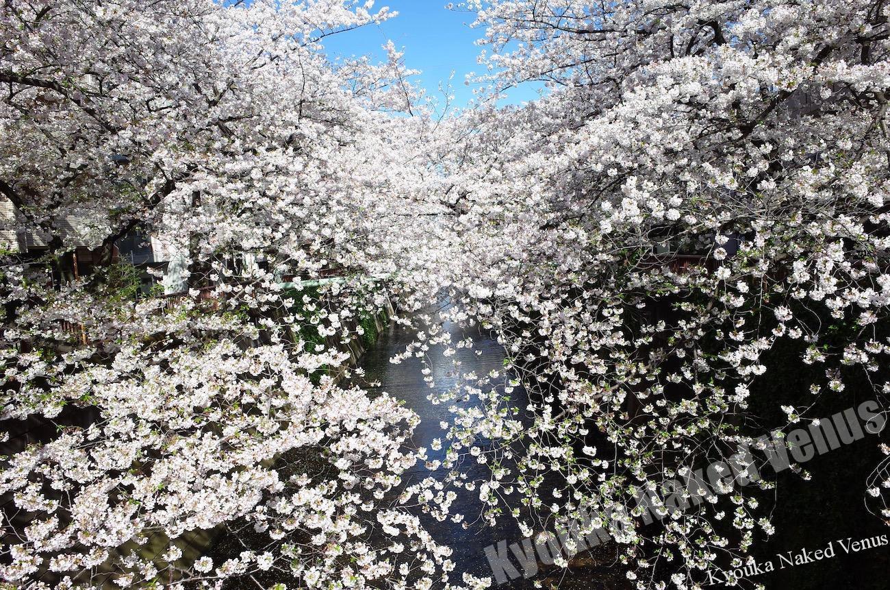 早朝桜散歩☆